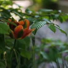Passar fint ihop med vårens växande gräsarter, ljusgrönt utspring från buskars löv och med Orange Parrot - de lyfter varandra