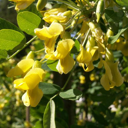 träd med gula hängen