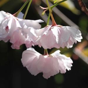 jap-körsbär-11-1