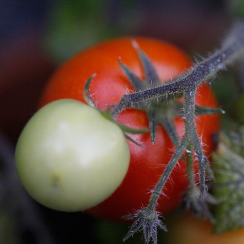 tomat-1-web