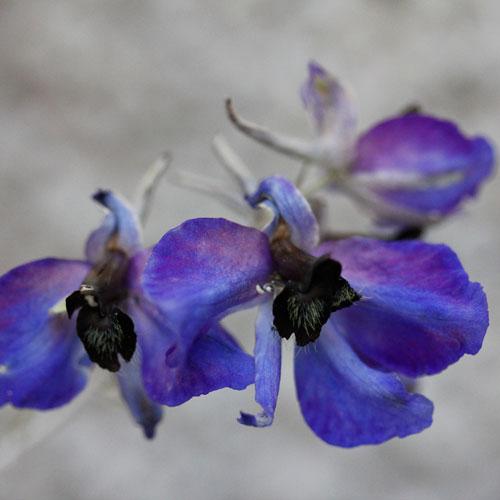 1307-blå-riddarsporre-2