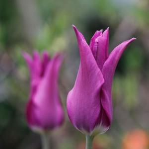 1304-rosa-tulp-1-web