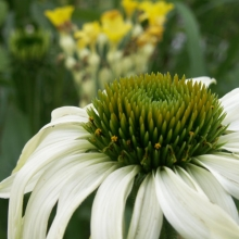 Jag älskar solhattar! De har så mycket att ge. Från knopp, första försiktiga utslag till fullt utslagen och med en fantasieggande knopp i mitten. Och insekter älskar den. Den vita tycker jag är allra finast!