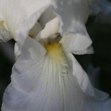 Skön i sin oskuldsfulla vithet, med lite, lite gult i svalget. Vacker i alla dess skeden.