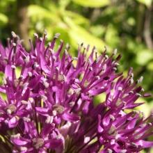Plantera många tillsammans och du får ett hav av lila i maj-juni. De är vackra som knopp, när knoppen sakta spricker, nyutslagna och i fröställning. Passar fint att kombinera med tulpaner, nävor och grässorter.