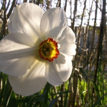 Den ursprungliga gammeldags narcissen har tunna, genomskinliga kronblad och liten krusig strut i mitten. Ett måste! Om du orkar - gå ut och titta på poetnarcissen en tidig morgon i motljus! Passar fint ihop med vitgröna tulpanen Spring Green och med sockblomma vid fötterna.