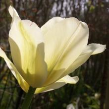 Den kan verkligen rekommenderas! Vacker i alla dess skeden. Passar bra till vårens ljusgröna utspring och till en rad andra tulpaner.