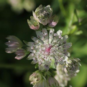 astrantia-major-1-web