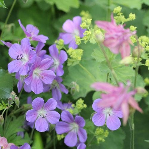 geranium-johnsons-blue-3-web