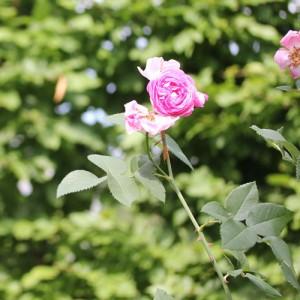 rosengard-4-web
